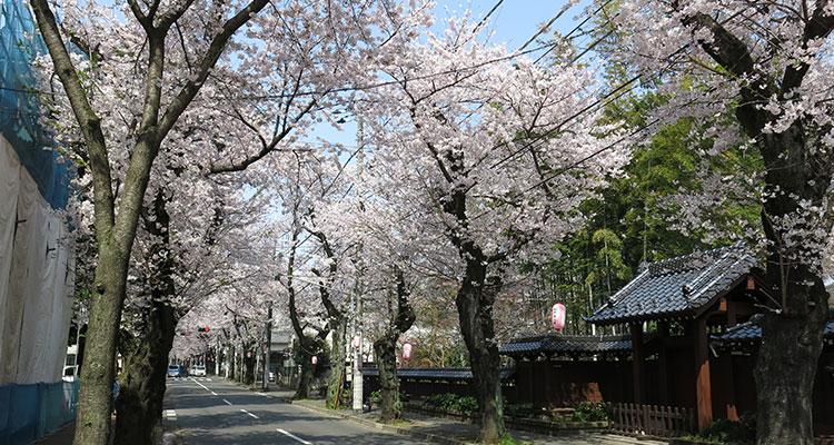 常盤平の桜